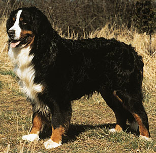 Bernese-Mountain-Dog-7