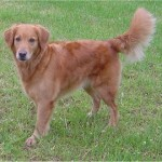 GoldenRetriever1