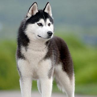 Husky Siberiano1