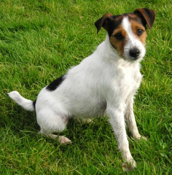 Parson_Russell_Terrier