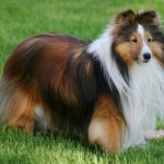 Adorable Sable Sheltie