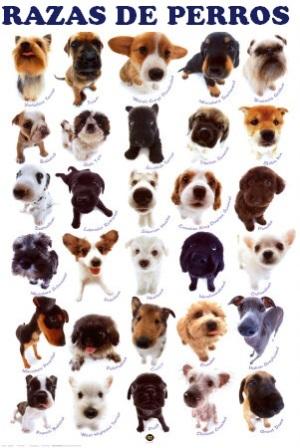 Qué raza de perro es mejor para mí? | PERROSPEDIA