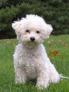 Las 10 Razas De Perros Peque 241 Os M 225 S Populares Perrospedia