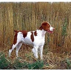 breton-Spaniel