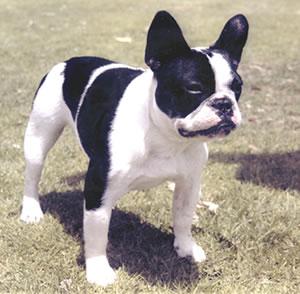 bulldogfrances1