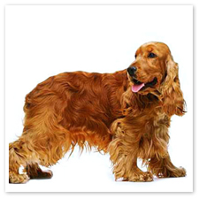 cockerspanielingles1