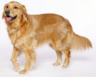 Diferencia Entre El Golden Retriever Y El Labrador Retriever