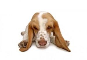 orejas-de-perro