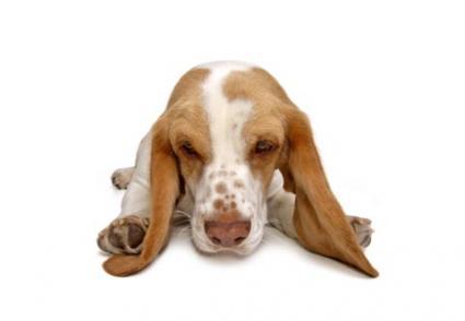 ¿Cómo consigue un perro infección por hongos en el oído?