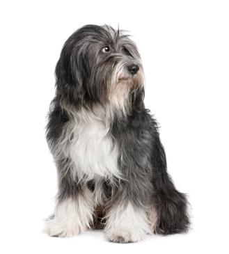 perro-peludo