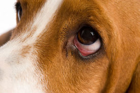 Can Dogs Eyes Turn Red