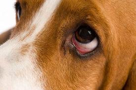 tratamiento de infección de ojo de bulldog inglés