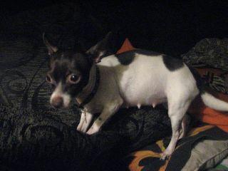 Cómo Cuidar De Una Chihuahua Embarazada Perrospedia