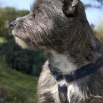 cairn terrier de perfil