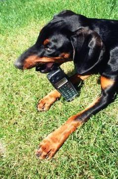 perro masticando celular