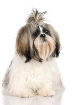 Cu nto debe comer un cachorro shih tzu perrospedia - Comida para cachorros de un mes ...