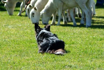 border collie pastoreando