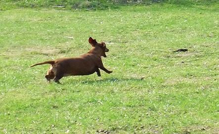 salchicha corriendo