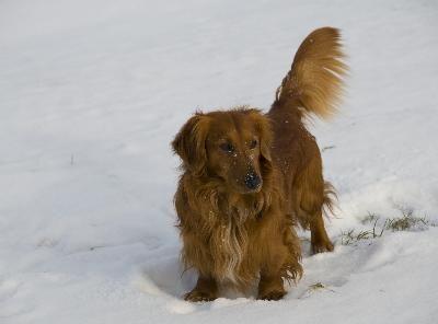 dachhund pelo largo salchicha
