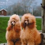 dos poodles caniches