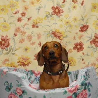 salchicha dachhound