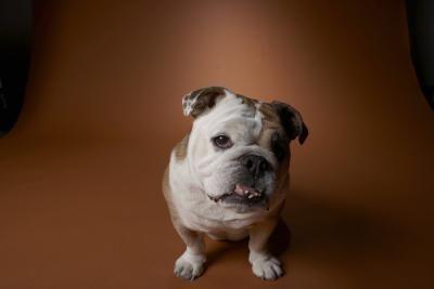 bulldog bantam