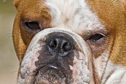 bulldog ingles cara