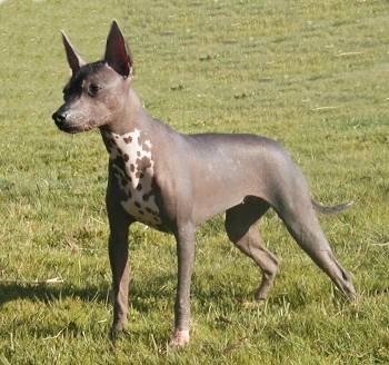 perro mexicano sin pelo