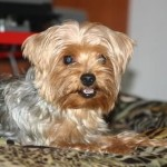 lindo yorkshire terrier