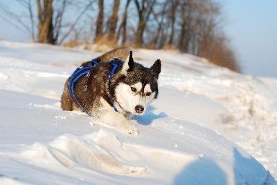 huski en la nieve
