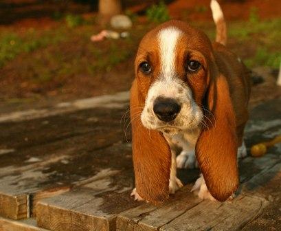 Perros con orejas largas y cadas  PERROSPEDIA