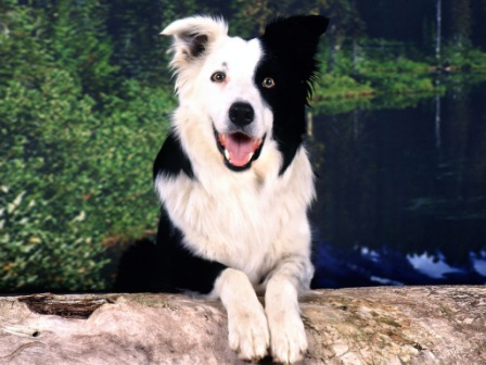 border collie (10)
