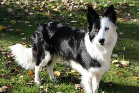 border collie (7)