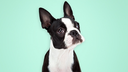 Boston terrier 7 meses