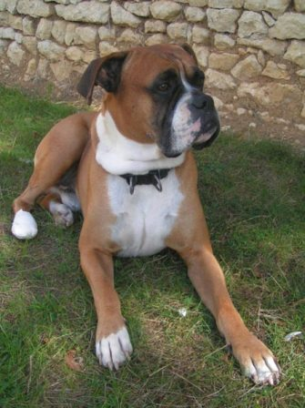 boxer (3)