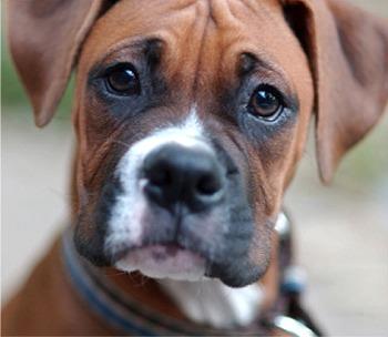boxer (8)