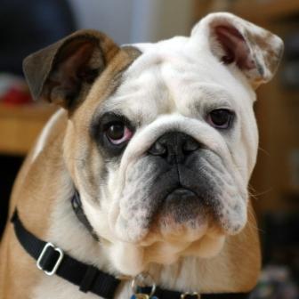 bulldog ingles (8)