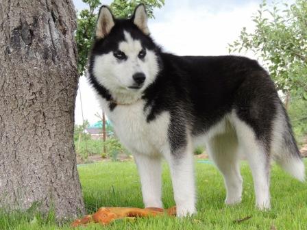 husky siberiano (10)