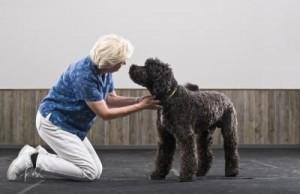 labrador poodle