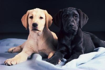 cachorros retrievers