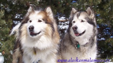 malamute de alaska
