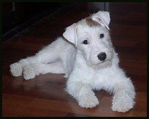 parson russel terrier (10)