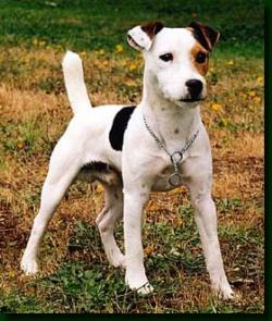 parson russel terrier (7)