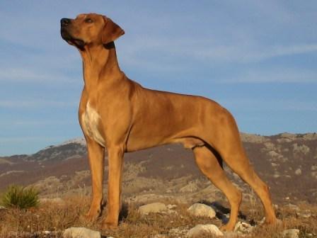 rhodesian ridgeback (2)