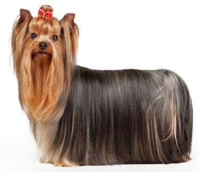 yorkshire terrier (4)