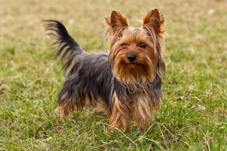 yorkshire terrier (5)
