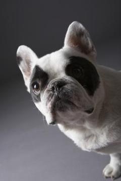perro mediano