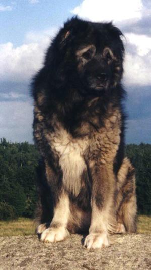 CaucasianOvcharka