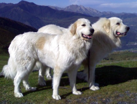 perro de los pirineos
