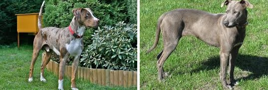 Catahoula vs Blue Lacy